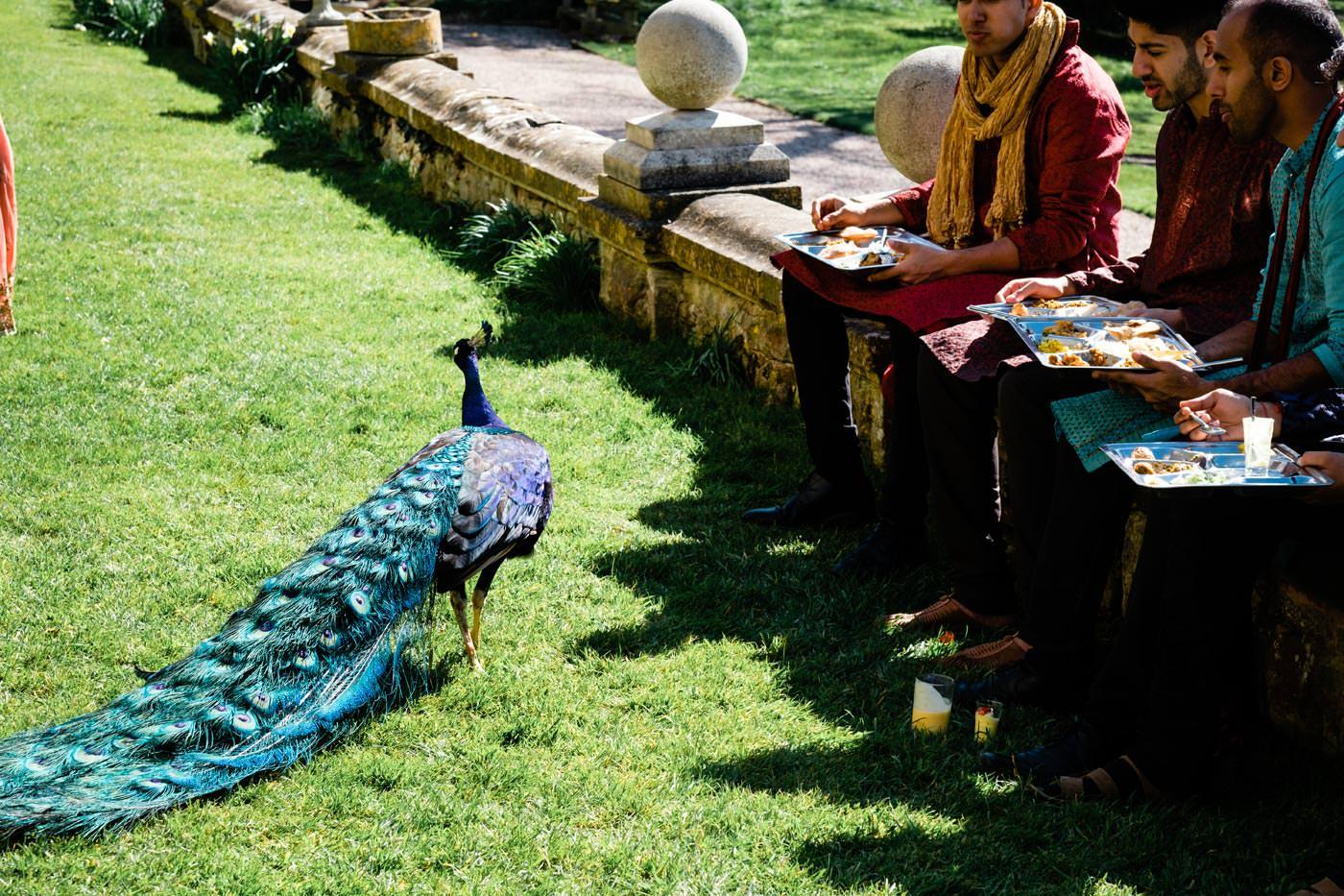 Ragley Hall peacock among the guests at a Hindu wedding reception